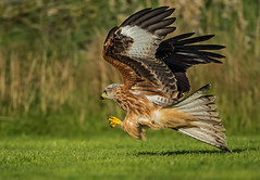 Red Kite - This one's for Todd (Ann and Chris) Tags: avian amazing bird beak close flying gorgeous gliding hunting hunt hawk beautiful majestic outdoors prey predator raptor red kite stunning wildlife