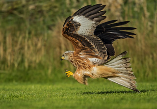 Red Kite - This one's for Todd