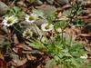 *Tanacetum parthenium, FEVERFEW. (openspacer) Tags: asteraceae feverfew jasperridgebiologicalpreserve jrbp nonnative riparian tanacetum