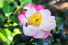 Threesome... (Jim Atkins Sr) Tags: insecta easternyellowjacket vespula maculifrons honeybee camelliasasanqua camelliasasanquaappleblossom camellia flower northcarolina newbern garden olympuspenepm2 olympus macro closeup