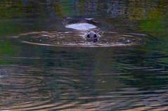 further twilight evidence (Edinburgh Nette ...) Tags: seals harbours september17 noses nostrils reflections dusk