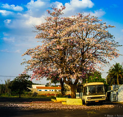 Inicio da Primavera no Brasil - Spring in Brazil (Rhyan Fallci) Tags: primavera flores ipê arvore maravilhosa wonderfull beautifull flowers trees amateur amador céu azul blue sky canon sx400is sx brazil brasil street photography