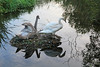 We're off IMG_8913 (twoislandliving) Tags: framed swan lake leaves hillsborough ireland