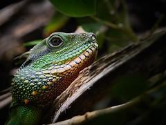 Dragon Eye (Arx Zyanos) Tags: sony sonya6500 ilce6500 a6500 sel90f28m fe90mmf28macrogoss makro eidechse colors colorful animal dragon eye lizard leguan 500faves fe 90mm f28 fe90mmf28 fe90mm