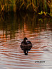 The last daylight (CecilieSonstebyPhotography) Tags: grass bokeh markiii beak ef100400mmf4556lisiiusm water eveninglight bird reflection canon5dmarkiii outdoor lake canon straws riples specanimal