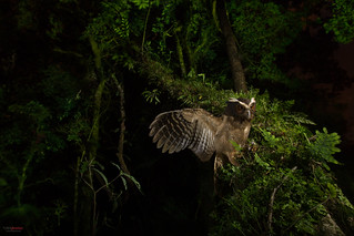 Crested Owl (Lophostrix cristata) extendin its wings at night