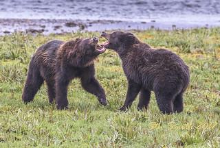 Alaskan brown bears at play...