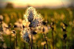 Asclepias syriaca (Selyemkóró) (kalbasz) Tags: asclepiassyriaca selyemkóró vaddohány flower sunset autumn nature colors hungary fuji xt2 xf56