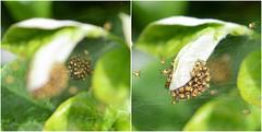 spiderlings (suekelly52) Tags: spiderlings web arachtober webwednesday spiders arachnids green