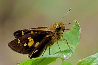 Polytremis eltola - the Yellow-spot Swift
