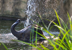 Duschen / Taking a shower (schreibtnix off for a while) Tags: tiere animals elefanten elephants asiatischerelefant asianelephant elephasmaximus jungtier younganimal köln cologne colognezoo kölnerzoo duschen takingashower olympuse5 schreibtnix