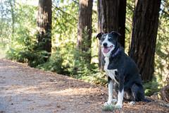 Bonny Sunday Afternoon 40/52/2017 (smile KB) Tags: 52weeksfordogs redwoods bonny dog santarosacreektrail