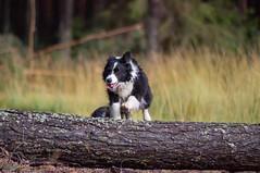 Fun in the forest (n.karpiewska) Tags: fun happy dog pies szczęśliwe forest las tree trees trip animal pet jump jumping play zabawa border collie bordercollie working gruszeczka lower silesia dolnośląskie dolnyśląsk milicz poland polska europe europa sun nature natura pentax kx tamron