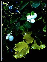 White Berries (ronramstew) Tags: plant garden forfar angus scotland