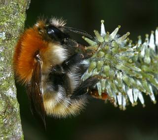 Bombus pascuorum (Scopoli, 1763), le bourdon des champs, the common carder bee