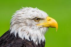 Weißkopfseeadler VI (oliverhoffmann77) Tags: tier animal vogel bird greifvolgel crossbird birdofpray adler eagle weiskopfseeadler haliaeetusleucocephalus baldeagle porträt green grün