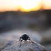 Beetle at the Hermanus Cliff Path