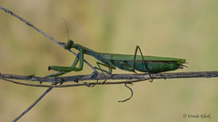 Gottesanbeterin (Mantis religiosa) (Oerliuschi) Tags: mantis fangschrecke gottesanbeterin insekten natur kaiserstuhl badberg lumix panasonicgh5 olympusm60 heliconfocus stacking postfocus