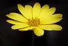 Yellow (Bill McBride Photography) Tags: yellow flower plant macro ef10028lmacro canon 450d xsi rebel january 2012 nature
