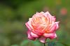 Autumn Rose festival 2017 (Yasuz) Tags: autumn rose pink 秋 バラ フェスティバル 旧古河庭園 東京 自然 nature nikon nikondf 85mm zeiss planart1485 zf2 flower bokeh carlzeiss 2017 festival