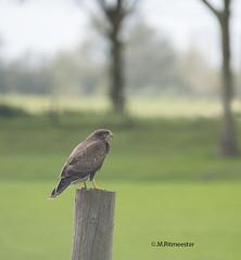 Buizerd / Buteo buteo (m.ritmeester) Tags: ngc naturelovers natuur nederland zuidholland spijkenisse bruin groen buizerd vogel roofvogel