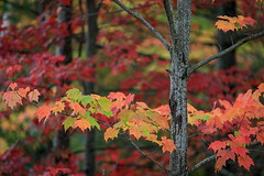 Ooh's and Aah's (Bert CR) Tags: centralontario colorful fall fallcolors thanksgiving oohsandaahs vibrant autumn autumncolors seasons outdoors outside foliage fallfoliage trees