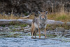 Eye to Eye with a Coyote (Amy Hudechek Photography) Tags: coyote wildlife yellowstone national park water wading eye contact amyhudechek