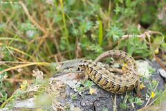 San Francisco Alligator Lizard (Elgaria coerulea coerulea) (Chad M. Lane) Tags: wildlife wildlifephotography sanfranciscoalligatorlizard elgaria coerulea