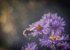 Descent (ursulamller900) Tags: pentacon2829 bee biene aster purple insekt autumn autumncolors bokeh flower
