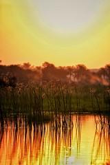 Touching The Sun .. (Hazem Hafez) Tags: pond sunset goldenhour golden reflection sun plants buds trees bokeh sky yellow