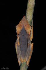 Taruga longinasus (methosphang) Tags: southernwhippingfrog longsnoutedtreefrog tarugalonginasus polypedateslonginasus treefrog frog taruga longinasus polypedates