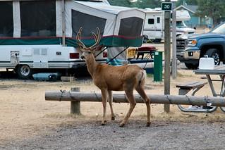 Wildlife deer in the campground