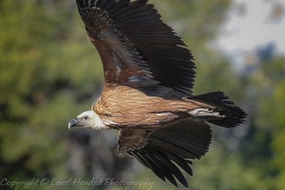 Griffon Vulture close flyby - (Gyps fulvus) Best viewed large