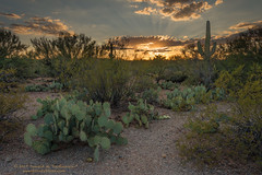 Mica View Trail Sunset (dtredinnick13) Tags: az arizona cactusforestloopdrive micaviewtrail nationalpark saguaronationalpark saguaronationalparkrinconunit usnationalpark hiking tucson sonorandesert saguaro sunset cactus pricklypearcactus southwest desertsouthwest desert nikon nikond800 sunrays nikon28300
