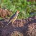 Winding Cisticola (Cisticola marginatus suahelicus syn. C. galactotes suahelicus)