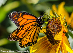Monarch Butterfly (vernonbone) Tags: 1855kitlens 2017 500mm autumn autumnoctober butterflies d3200 green lens macroinsects monarch october ontario orange rosettagardens rosettegardens closeup colors flowers garden nikon outside sigma street yellow