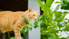 Orange and green 🐱 (stratman² (2 many pix!)) Tags: canonphotography eos450d ef40mmf28stm pancakelens orangecats neko catmoments colorful oreengenesses moggie tabby chat gato kucing comel cc100