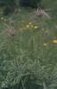 Pulsatilla aplina, Tall fruits. Mauthner Alp (Mary Gillham Archive Project) Tags: 5516 austria grossglockner planttree pulsatillaalpine