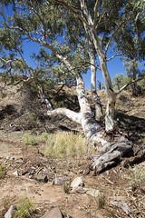 Tough Tree (oz_lightning) Tags: australia brachinagorge canon6d canonef1635mmf4lis eucalyptus flindersranges flindersrangesnp genre interests myrtaceae sa geology landscape nature sedimentary flindersrangesnationalpark southaustralia aus