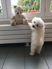 Naïs s'est fait un nouvel ami ! (Annelise LE BIAN) Tags: animal chien tag naïs bichonfrisé alittlebeauty coth coth5 sunshine fabuleuse