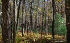 Ferns & Trees 10.20.17 (Desra Lea) Tags: forest woods landscape country ferns trees wild wilderness fall autumn