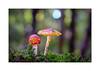 Schirmherrschaft (Fujigraf) Tags: pilz schirm wald moos grün fliegenpilz baum licht oktober herbst