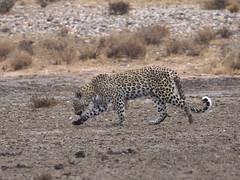 PA042526 adj Leopard (Joanna P Dale) Tags: kgalagaditransfrontierpark matamata olympus omdem1mkii panasonic100400 africanleopard leopard