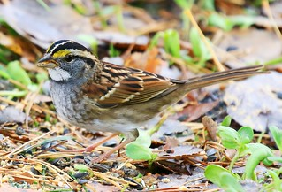 white-throated sparrow at Lake Meyer Park IA 854A1335