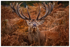 Prepared For A Rut (Brian P Slade Photography) Tags: reddeer stag antlers animals animalportraits animalplanet canon canonphotography ferns fern mammal mammals sigma autumn autumnal uk ukwildlife deer brianpsladephotography brianpslade bracken wildlife wildlifephotography 150600mm eos england 5d portrait portraiture f563 dg os hsm |