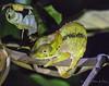 Canopy chameleon (Furcifer willsii ) (Peter du Preez) Tags: canopy chameleon furcifer willsii wills madagascar andasibe