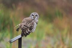 Swamp Owl (PhillymanPete) Tags: greatswampnwr autumn wildlife color owl perch nature eyes birdsofprey colors barredowl strixvaria raptor swamp bird gillette newjersey unitedstates us