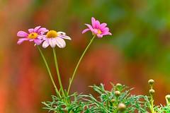 Margherite (f_foschi.) Tags: margherite colori colors daisies fiori flowers francescofoschi nikon d500 nature natura