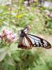 アサギマダラ (Polotaro) Tags: fconp01 butterfly insect bug nature olympus epm2 pen zuiko チョウ 蝶 虫 昆虫 自然 オリンパス ペン ズイコー アサギマダラ 10月