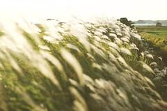 (so1low_at_tan5) Tags: takumar takumar55mmf18 grass ススキ